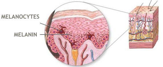 Melanocytes In the Epidermis_2
