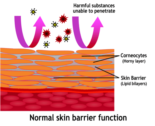 normal-skin-barrier-function