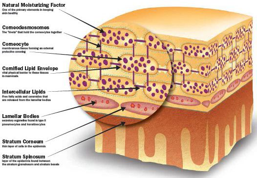 The Importance of Your Epidermis_4